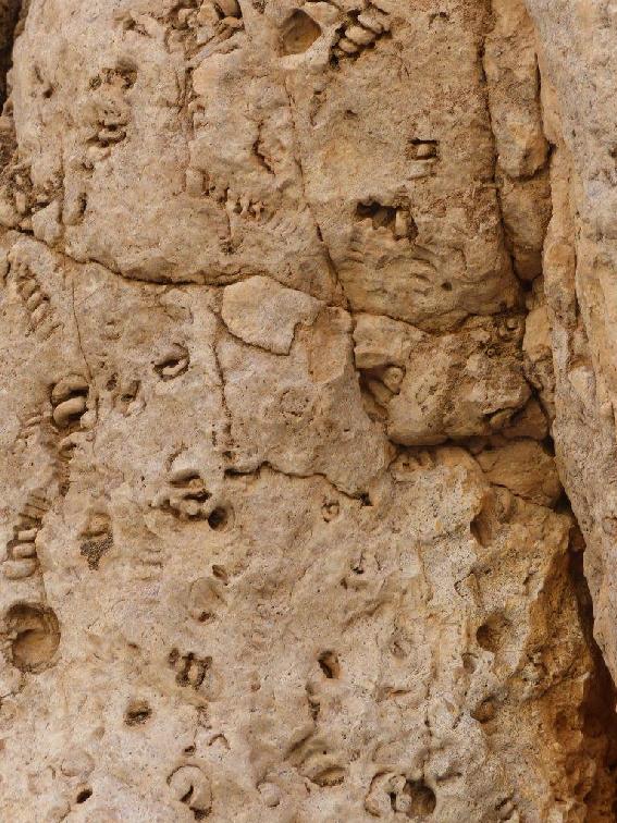 Conchiglie fossili racchiuse nella roccia