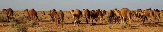 Mandria di cammelli nel deserto