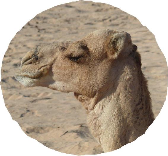 testa cammello