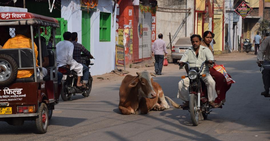Motorino e mucca su una strada di Benares