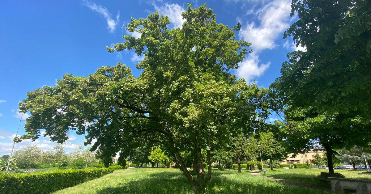 Un albero di nome Italo